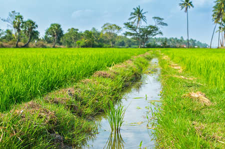 indian creek: Indian landscape of growth rice plantation with creek, palm trees