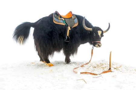 tibetian: yak with saddle standing and raised tail in the snow is isolated on white background, close up Stock Photo