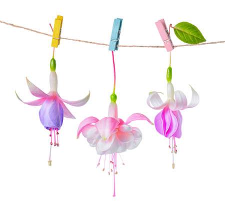 flores fucsia: hermosa rosa suave, lila y blanco de flores fucsia entrega en cuerda con pinza está aislado en el fondo, de cerca
