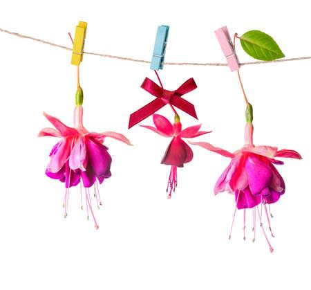 flores fucsia: hermoso colorido flores fucsia entrega en cuerda con pinza está aislado en el fondo blanco, de cerca