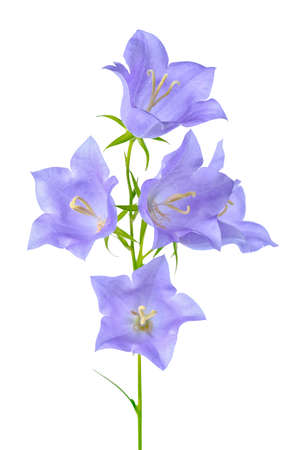 pestil: beautiful blooming bluebell flower is isolated on white background, element of decor, close up
