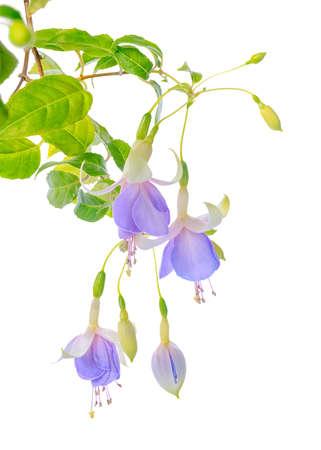 flores fucsia: floración hermosa rama colgando flores fucsia en tonos de azul y blanco, está aislado en el fondo blanco, `Holly`s Beauty`, de cerca