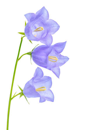 pestil: beautiful blooming bluebell flower is isolated on white background for greeting card, close up