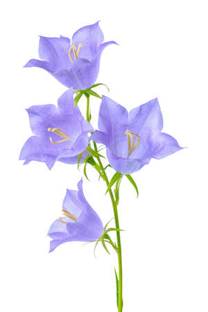 pestil: beautiful blooming bluebell flower is isolated on white background for decoration, close up
