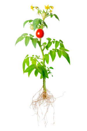 young seedling of fresh green and red tomatoes fruit and flowers with exposed roots is isolated on white background, close up Stock Photo