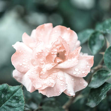 beautiful romantic pink roses flowers with dew, soft selective focus, toned style