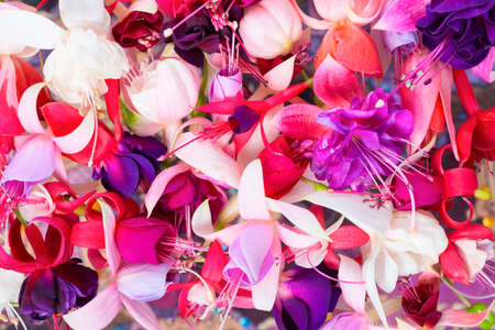 flores fucsia: colorful fuchsia flowers like background, card for summer or spring designs, closeup Foto de archivo