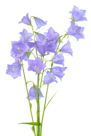 pestil: beautiful blooming bouquet of bluebell flowers isolated on white background, element of decor, close up