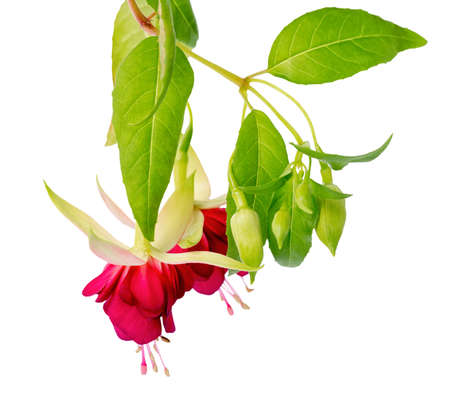 pestil: beautiful blooming hanging twig in shades of bright red fuchsia flower is isolated on white background, close up, Mood Indigo Stock Photo