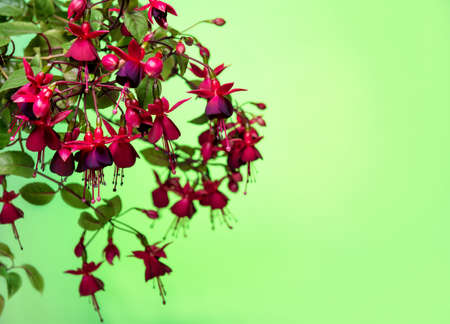 pestil: blooming hanging branch in shades of dark red fuchsia on green background, Huets Kwarts, copy space