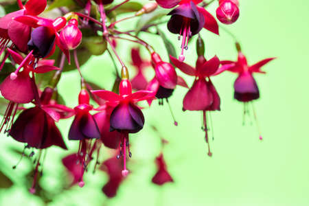 pestil: blooming hanging twig in shades of dark red fuchsia on green background, Huets Kwarts, close up