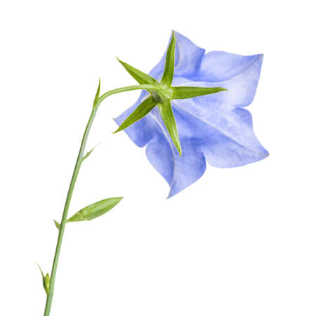 pestil: Single bluebell flower back turned isolated on white background, close up