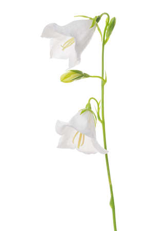 pestil: Beautifull blooming bell flower isolated on white background, close up Stock Photo