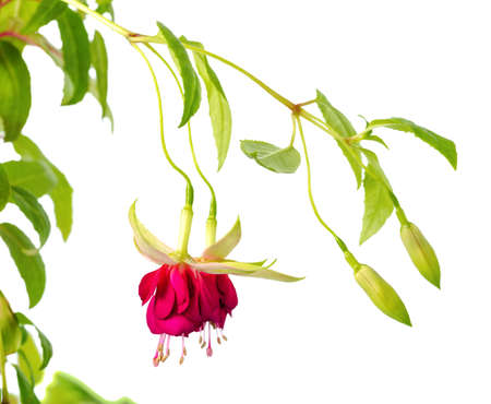 pestil: blooming hanging twig in shades of dark red and white fuchsia is isolated on background, Mood Indigo, close up