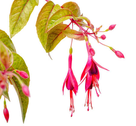 pestil: blooming hanging twig in shades of dark red fuchsia variegated is isolated on white background, Magellanica, close up