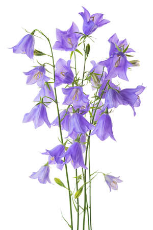 pestil: beautiful blooming bouquet blue bell flower isolated on white background, close up