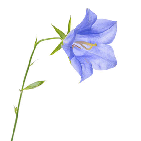 pestil: beautiful blooming single blue bell flower isolated on white background, close up Stock Photo