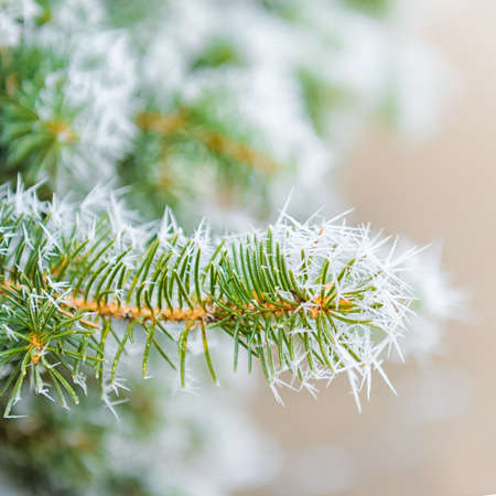 Branches of Christmas fir-tree with rim frost in winter forest