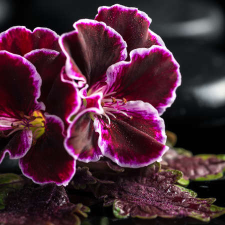 beautiful spa of geranium flower and black zen stones with drops, Royal Pelargonium Stock Photo