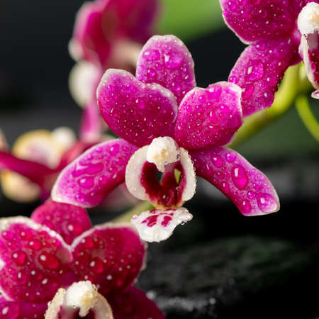 Beautiful spa still life of zen massaging stones with drops, red orchid (phalaenopsis) and green leaves, close up