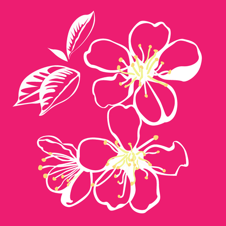 jonquil: Cherry blossoms of white flowers on a pink background . Illustration