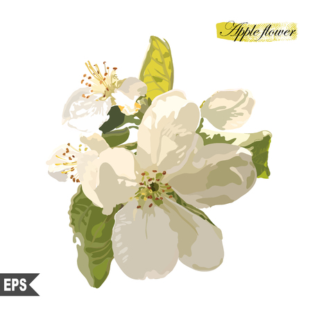 apple blossom: Isolated flower on a white background. Vector illustration.