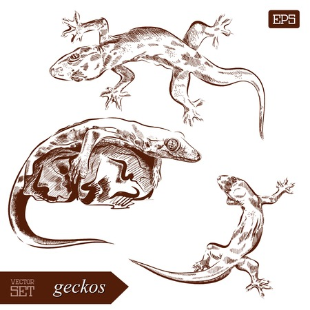 arboreal: Geckos lizard. Hand drawn vector illustration. Can be used separately from your design.