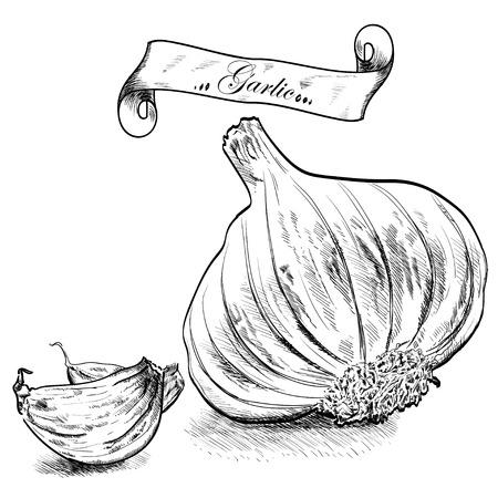 garlic: Ejemplo dibujado mano con ajo aisladas sobre fondo blanco.