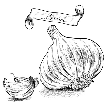 Hand drawn illustration with garlic isolated on white background. Stock fotó