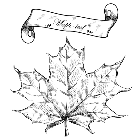 highly detailed: Autumn highly detailed hand drawn maple leaf.
