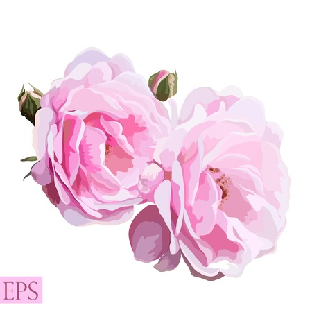 Pink rose with leaves on white background. Vector illustration. EPS
