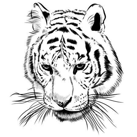 Original artwork tiger with dark stripes, isolated on white background, and sepia color version, outline llustration.