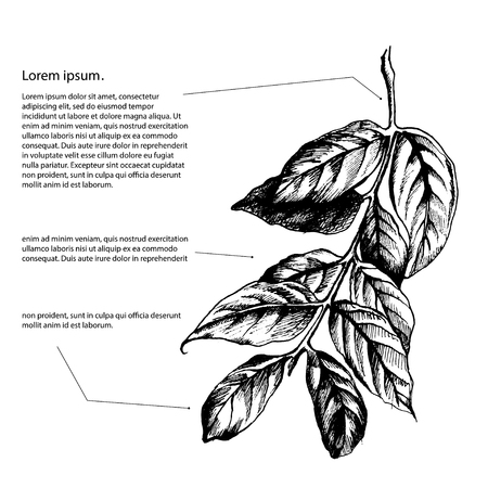 highly detailed: leaves on the branch of highly detailed hand drawn isolated with a white background.