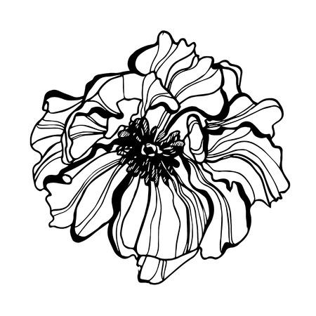 detailed:  flower sketch detailed  poppy flower.  Illustration