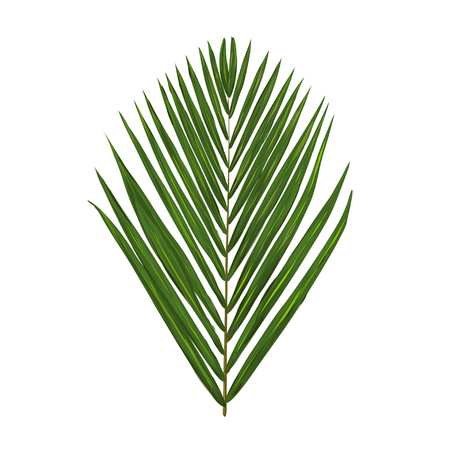 palm leaf: green palm leafe isolated on a white background.