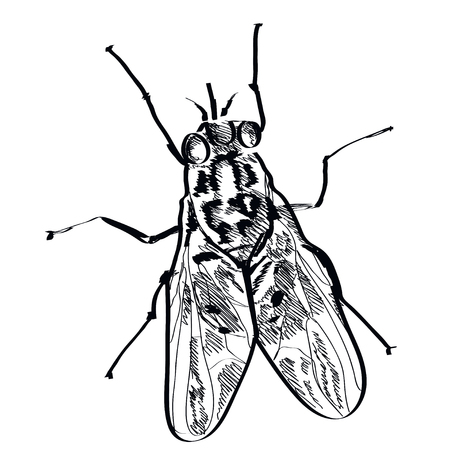 irritate: Vector fly insect hand drawn on a background.