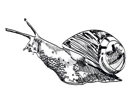 dna smile: Hand drawn snail on white background. Vector illustration. Illustration
