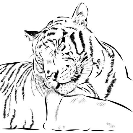 scetch: Tiger scetch hand drawn on background. Illustration