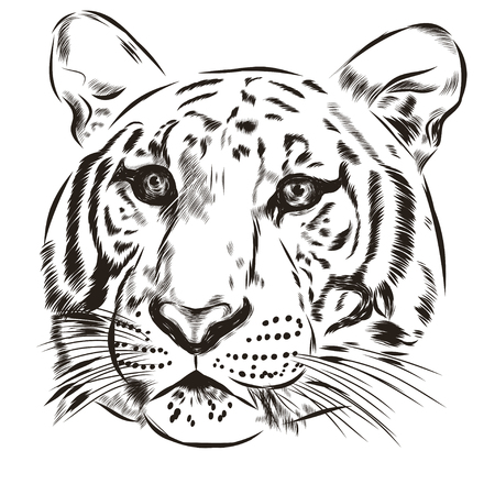 scetch: Tiger scetch hand drawn on background. Vector EPS Illustration