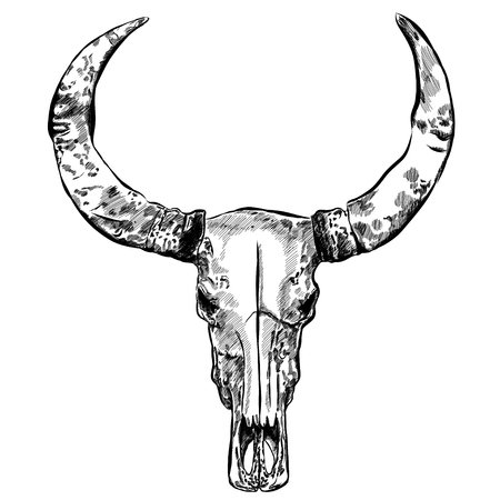cow skull: Cow skull- hand drawn vector illustration, isolated on white. Illustration