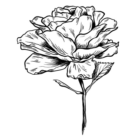 Illustration of highly detailed hand drawn rose isolated on white background.