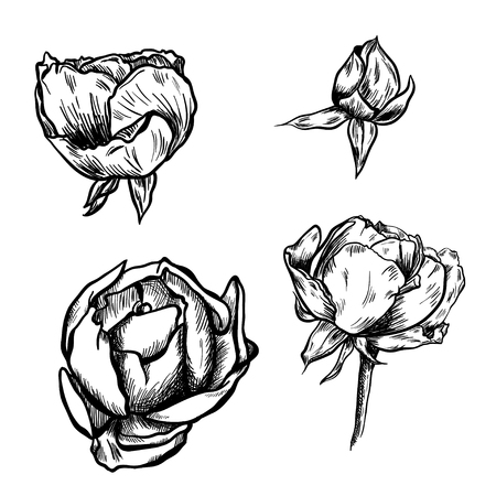 Great collection of highly detailed hand drawn roses isolated on white background. Vector
