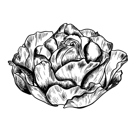 Illustration of highly detailed hand drawn rose isolated on white background. Vector Illustration
