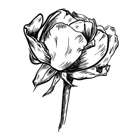 Illustration of highly detailed hand drawn rose isolated on white background. Vector Ilustração