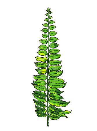 Tropical leaf. Botanical hand drawn illustration on white background