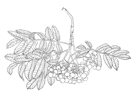 Hand drawn rowan tree isolated on white background.