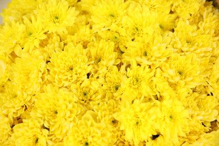 Beautiful fresh chrysanthemum flowers as background, top view 写真素材 - 167167951