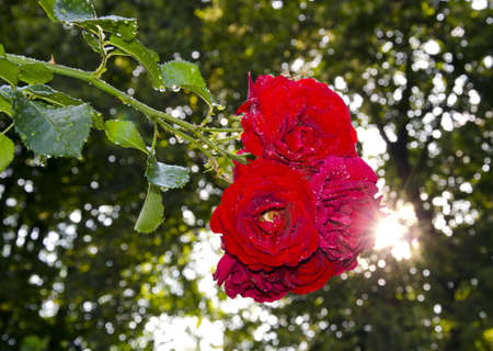 dewy red rose in the evening garden Stock Photo