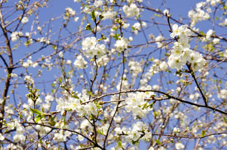 cherrytree: cherry-tree spring blossoms and sky background Stock Photo