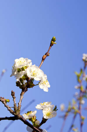 cherrytree: cherry-tree spring blossoms and blue sky background
